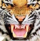 avatar for tigerwolf11
