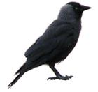 avatar for Choucas